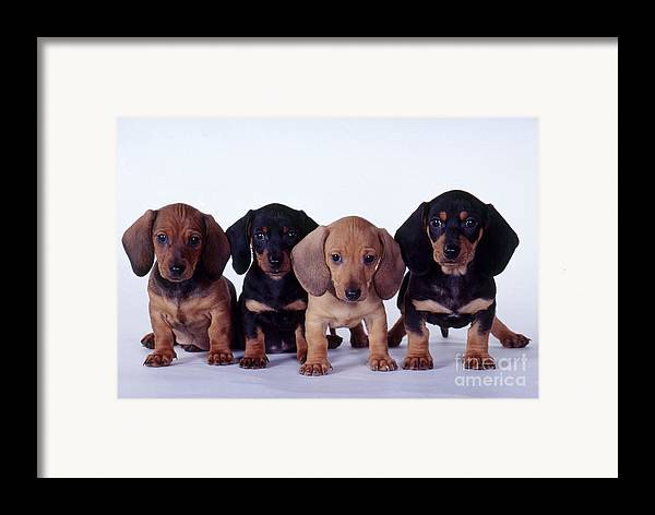 Fauna Framed Print featuring the photograph Dachshund Puppies by Carolyn McKeone and Photo Researchers