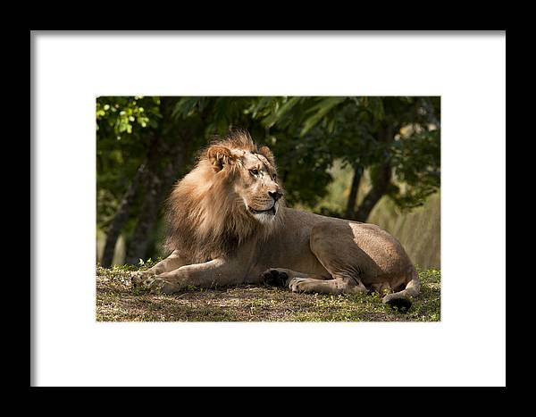 Animals Fauna Lion Framed Print featuring the photograph Dad by LOsorio Photography