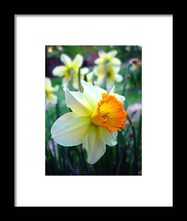 Daffodil Framed Print featuring the photograph Daffodil 2 by Sharon Crawford