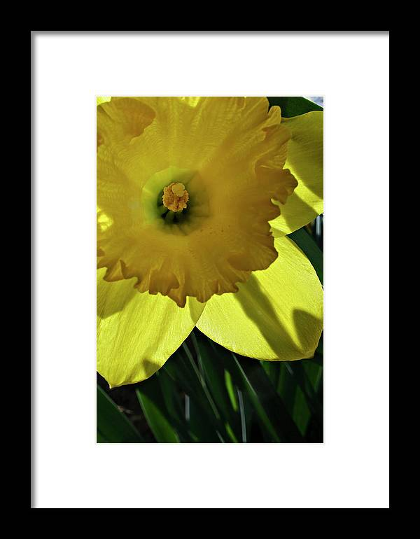 Flower Framed Print featuring the photograph Daffodil Sun by ShaddowCat Arts - Sherry