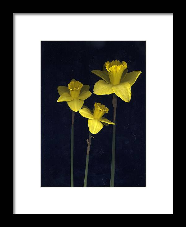 Nature Framed Print featuring the photograph Daffodilia II by William Thomas