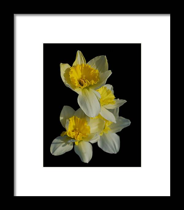 Flowers Framed Print featuring the photograph Daffodils by Michael Taylor