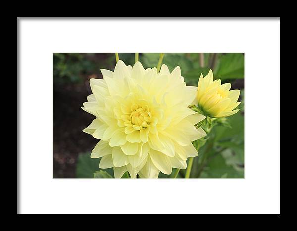 Flower Framed Print featuring the photograph Dahlia Blossom Yellow by Ck