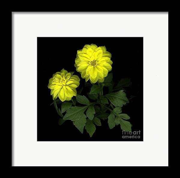 Yellow Framed Print featuring the photograph Dahlia by Christian Slanec