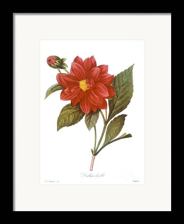 1833 Framed Print featuring the photograph Dahlia (dahlia Pinnata) by Granger