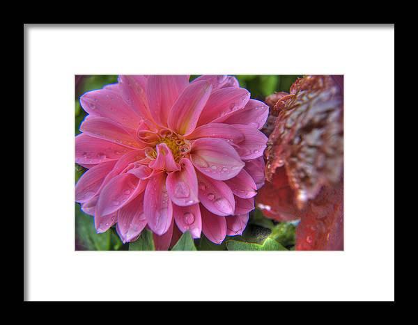 Plant Framed Print featuring the photograph Dahlia Emmily by Alexander Rozinov