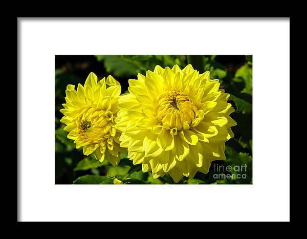 Annual Framed Print featuring the photograph Dahlia Garden 3 by Joe Geraci
