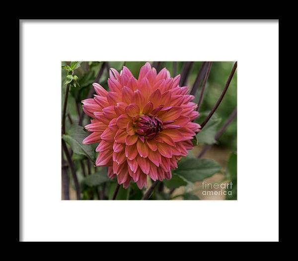 Connecticut Framed Print featuring the photograph Dahlia In Bloom 19 by Joe Geraci