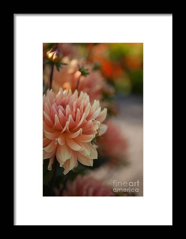Flower Framed Print featuring the photograph Dahlias Season by Mike Reid