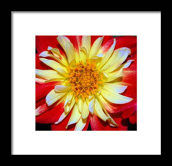 Flower Framed Print featuring the photograph Daila Photo Macro by Patty Vicknair