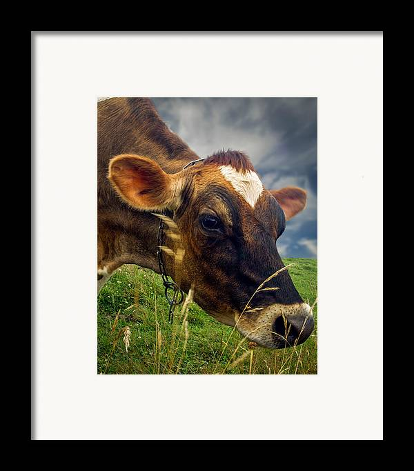 Cow Framed Print featuring the photograph Dairy Cow Eating Grass by Bob Orsillo