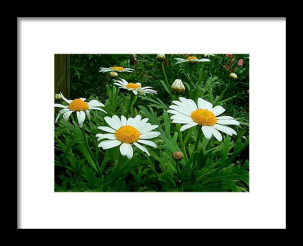 Daisy Framed Print featuring the photograph Daisey Delight by Jim Darnall