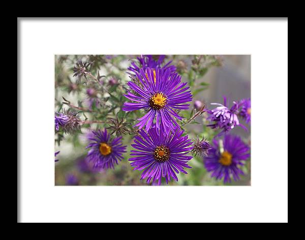 Daisey Framed Print featuring the painting Daisey May by Debbie May