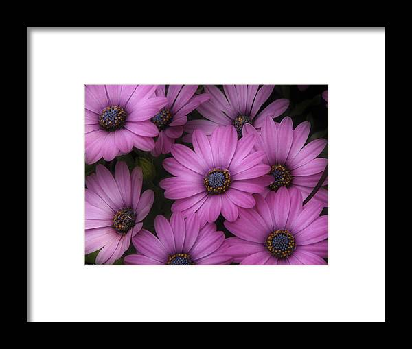 Nature Framed Print featuring the photograph Daisies In Dakota by Ches Black