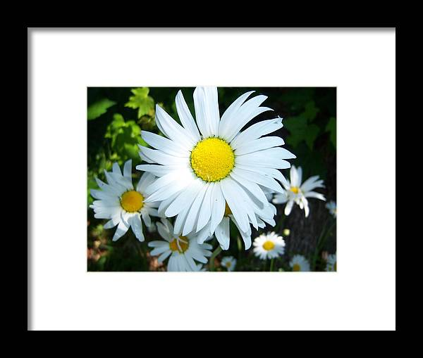 Daisies Framed Print featuring the photograph Daisies by Ken Day