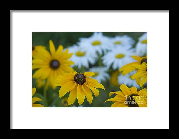 Daisy Framed Print featuring the photograph Daisies by Idaho Scenic Images Linda Lantzy