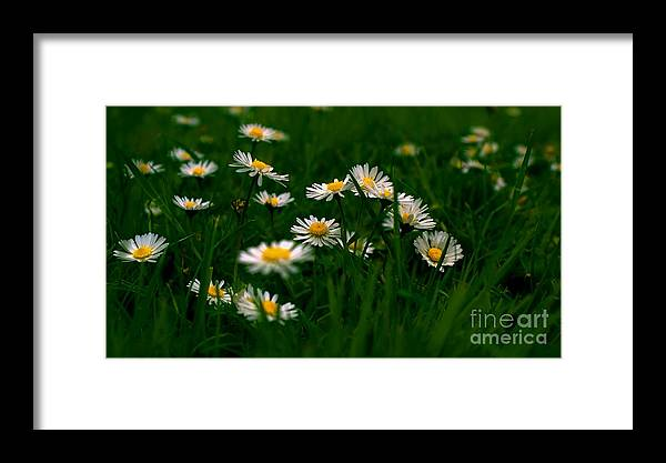 Daisies Summer Grass Green Yellow White Pretty Flowers Common Weed Blurred Focus Framed Print featuring the photograph Daisies by Louise Fahy