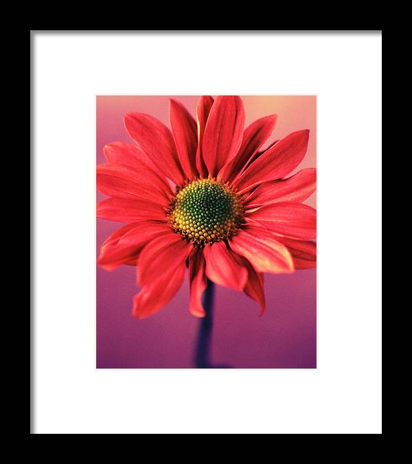 Flora Framed Print featuring the photograph Daisy 1 by Joseph Gerges