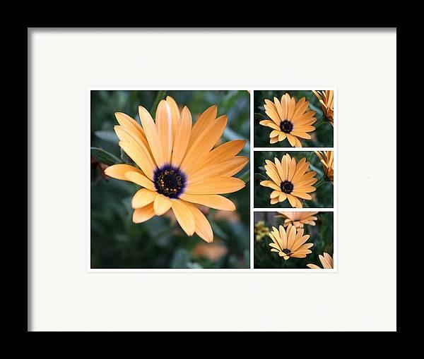 Daisy Framed Print featuring the photograph Daisy by Bob Gardner