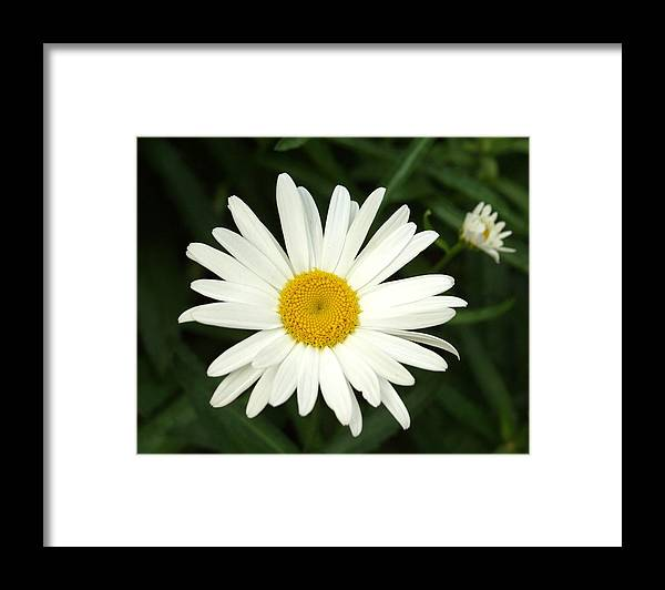 Daisy Framed Print featuring the photograph Daisy Days by Carol Sweetwood