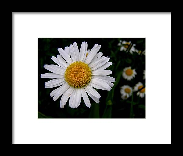 Flowers Framed Print featuring the photograph Daisy Doo by Jeanette Oberholtzer