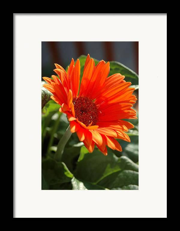 Daisy Framed Print featuring the photograph Daisy by Kathy Schumann