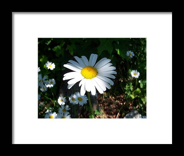 Daisy Framed Print featuring the photograph Daisy by Ken Day