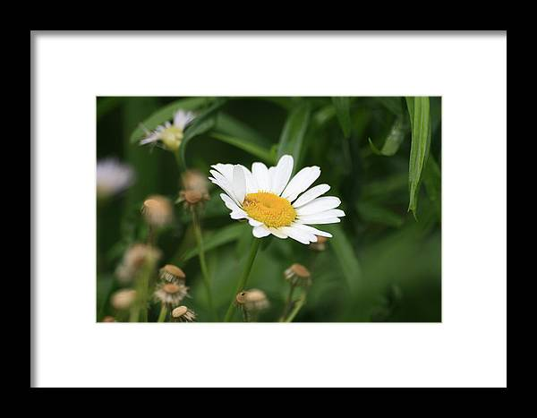 Wild Flowers Framed Print featuring the photograph Daisy One by Alan Rutherford