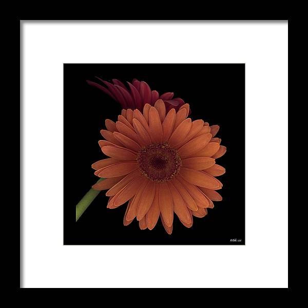 Gerber Framed Print featuring the photograph Daisy Tilt by Heather Kirk