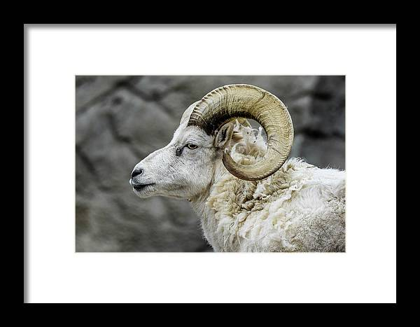 Sheep Framed Print featuring the photograph Dall Sheep by Michael Putthoff