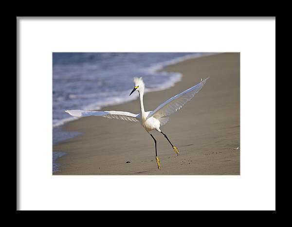 Puerto Vallarta Framed Print featuring the photograph Dancing Egret by Christine Kapler
