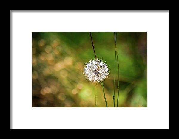 Dandelion Framed Print featuring the photograph Dandelion by Eric Strickland