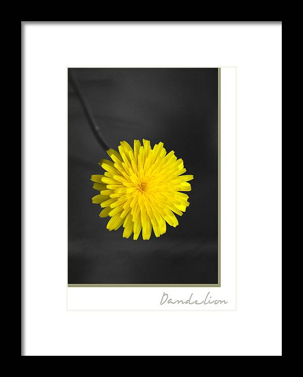 Floral Framed Print featuring the photograph Dandelion by Holly Kempe
