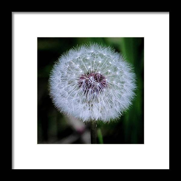 Framed Print featuring the photograph Dandelion by James Burton
