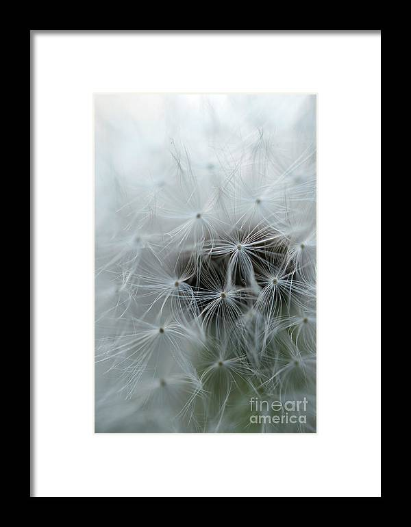 Dandelion Framed Print featuring the photograph Dandelion Seeds Close-up by Michelle Himes