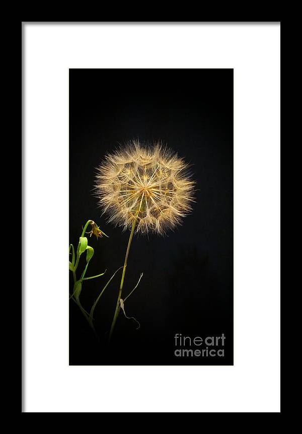 Dandelion Framed Print featuring the photograph Dandelion Thirty Nine by LKB Art and Photography