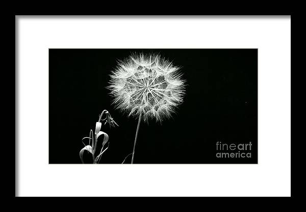 Dandelion Framed Print featuring the photograph Dandelion Thirty Six by LKB Art and Photography