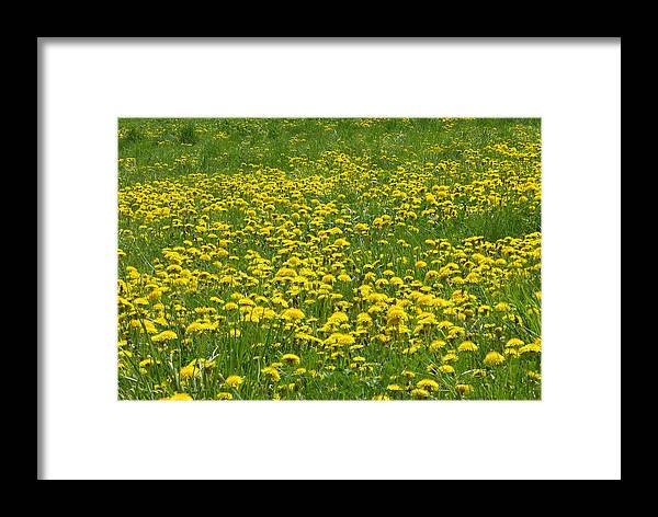 Dandelion Framed Print featuring the photograph Dandelion Wine by Peter Williams