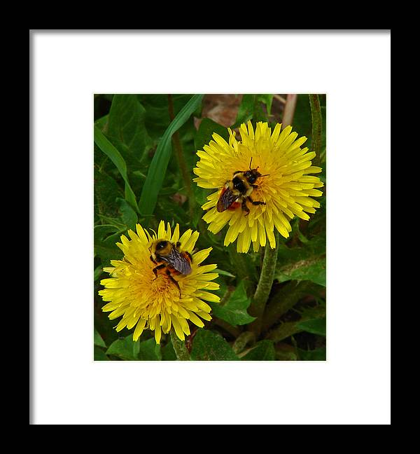 Dandelion Framed Print featuring the photograph Dandelions and Bees by Heather Coen
