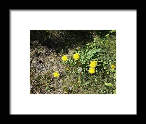 Nature Framed Print featuring the photograph Dandelions by Marilynne Bull