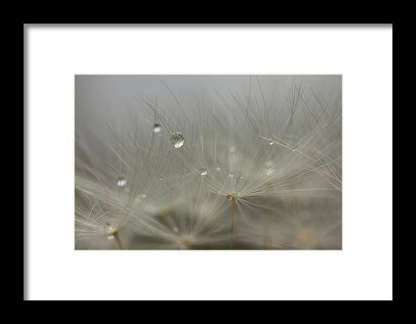 Red-seeded Dandelion Taraxacum Erythrospermum Weed Plant Fuzzy Outside Outdoors Macro Close-up Close Up Closeup Nature Natural Plant Newengland New England Ma Mass Massachusetts Brian Hale Brianhalephoto Botany Water Drop Droplets Droplet Drip Dew Spray Waterdrop Framed Print featuring the photograph Dandy Dew Two 2 by Brian Hale