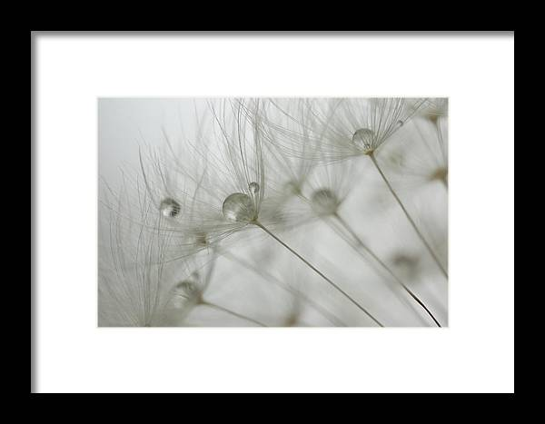 Red-seeded Dandelion Taraxacum Erythrospermum Weed Plant Fuzzy Outside Outdoors Macro Close-up Close Up Closeup Nature Natural Plant Newengland New England Ma Mass Massachusetts Brian Hale Brianhalephoto Botany Water Drop Droplets Droplet Drip Dew Spray Waterdrop Framed Print featuring the photograph Dandy Drops 2 by Brian Hale