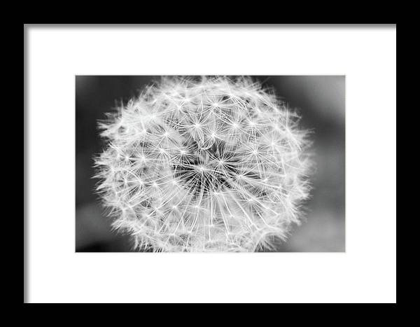 Flower Framed Print featuring the photograph Dandylion Black And White by Stefano Del Bianco