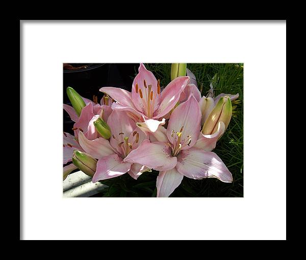 Lilly Framed Print featuring the photograph Dappled Pink Lillies by Ellen B Pate