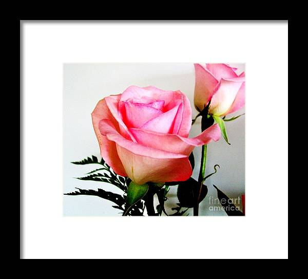 Roses Framed Print featuring the photograph Dark Pink Tipped Roses by Marsha Heiken