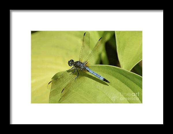 Blue Framed Print featuring the photograph Dasher In My Pond by Mary Ann Artz