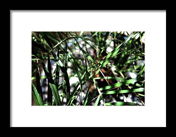Tree Framed Print featuring the photograph Date Palm by Dawn Whiteaker