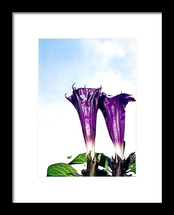 Flowers Framed Print featuring the photograph Datura Koluh by Vah Pall