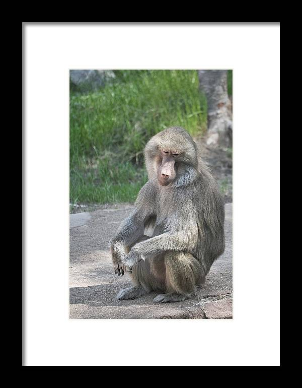 Baboon Framed Print featuring the photograph Day Dreamer by Margaret Augustine