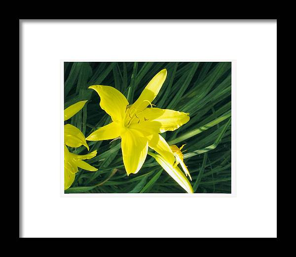Flower Framed Print featuring the photograph Day Lilly by Yolanda Lange